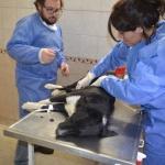 Masiva jornada de castración en el dispensario canino